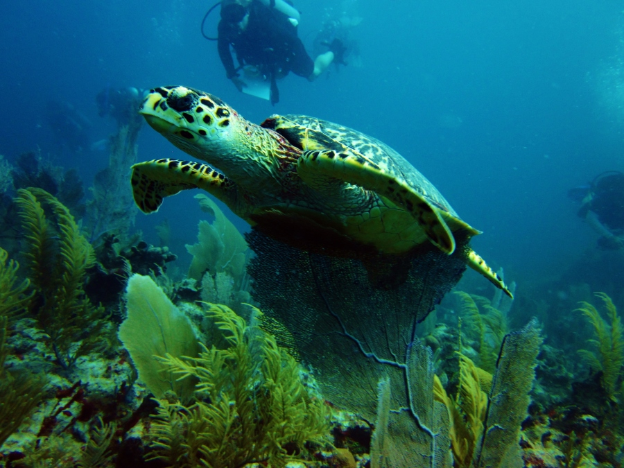 One of many turtles in Akumal.